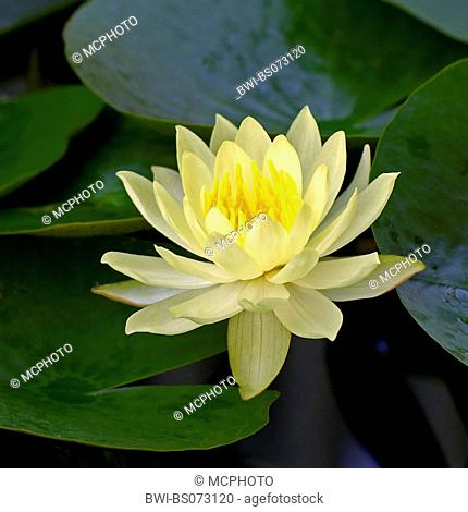 mexican waterlily, banana waterlily, yellow waterlily (Nymphaea mexicana), single blossom