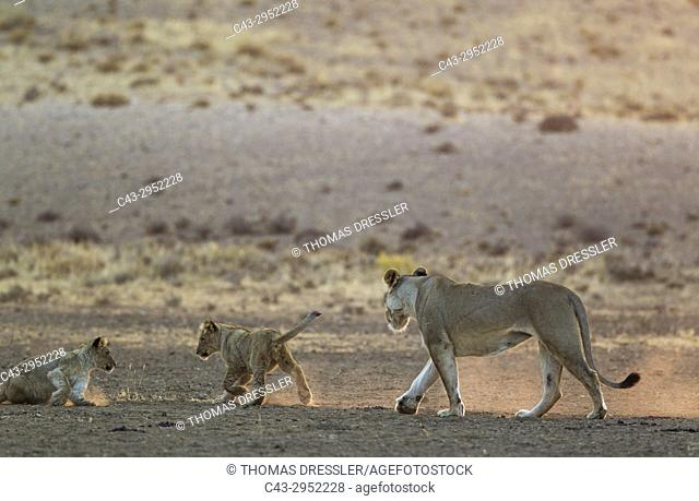 Lion (Panthera leo). Female with two playful cubs in the light of the early morning. Kalahari Desert, Kgalagadi Transfrontier Park, South Africa
