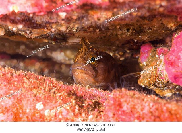 Yarrell's Blenny or Atlantic Warbonnet (Chirolophis ascanii) hiding in the crevice of the reef. Norwegian Sea, Northern Atlantic, Norway