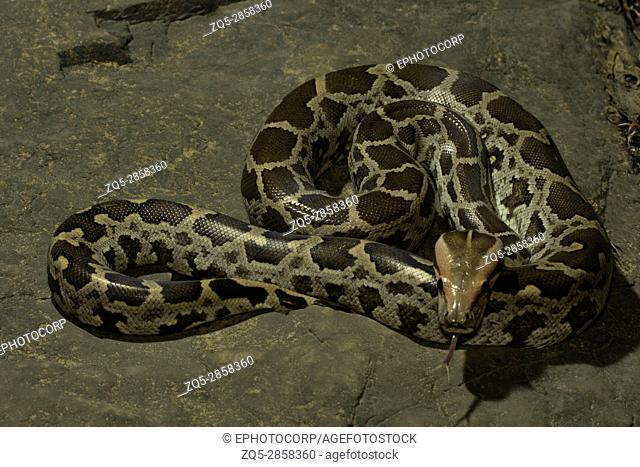 Indian rock python, Python molurus , Aarey Milk Colony , INDIA. Python molurus is a large nonvenomous python species found in many tropic and subtropic areas of...