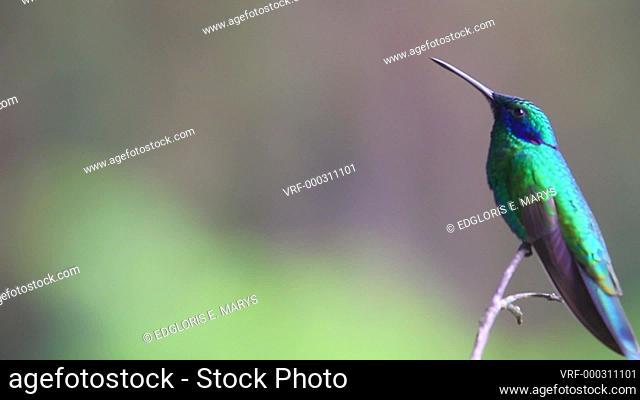 Amazing Colibri thalassinus (Mexican Violetear) hummingbird taking off branch in the rainforest, Venezuela