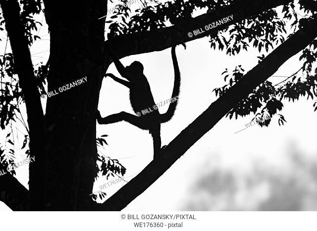 Silhouette of Geoffroy's spider monkey (Ateles geoffroyi) - La Laguna del Lagarto Lodge, Boca Tapada, Costa Rica