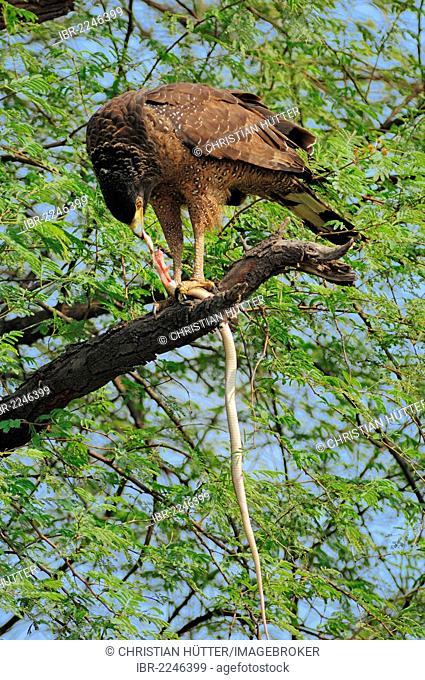 Crested Serpent Eagle (Spilornis cheela) feeding on seized snake, Keoladeo Ghana National Park, Rajasthan, India, Asia