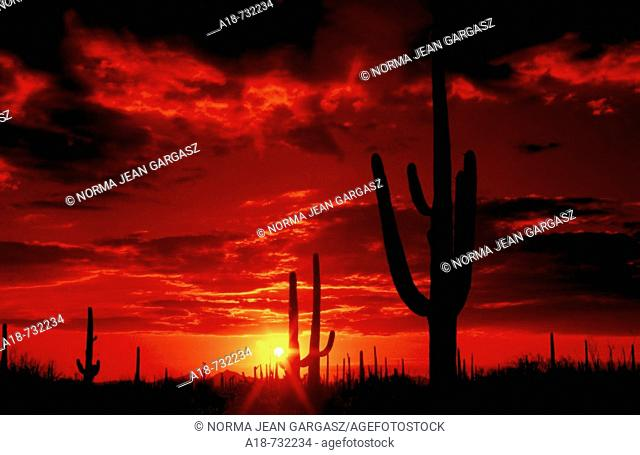 The sun sets in Saguaro National Park West in the Sonoran Desert in Tucson, Arizona, USA