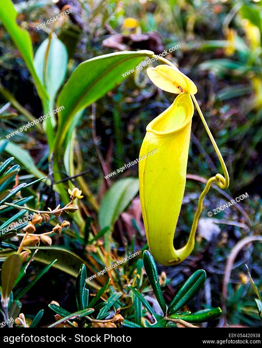 View to pitcher plant of Nepenthes in Atsinanana region, Madagascar