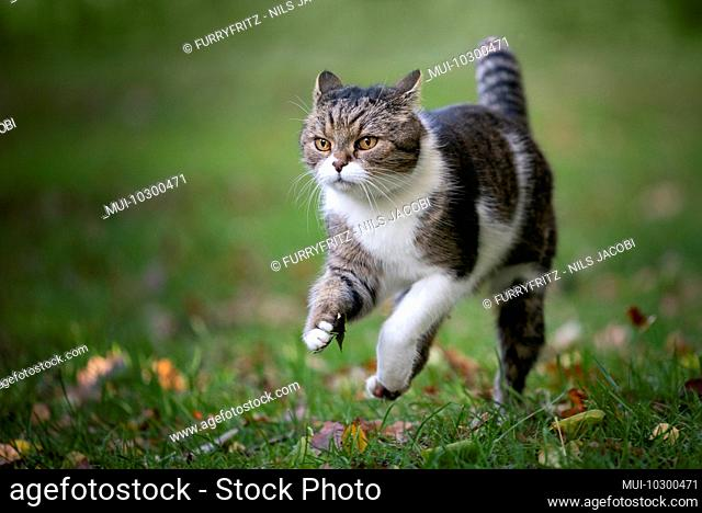 tabby white british shorthair cat running on grass with autumn leaves outdoors looking ahead folding back ears