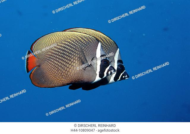 action, Ari atoll, butterflyfish, Chaetodon collare, diving, falterfische, holiday, holidays, Indian ocean, live, Ma