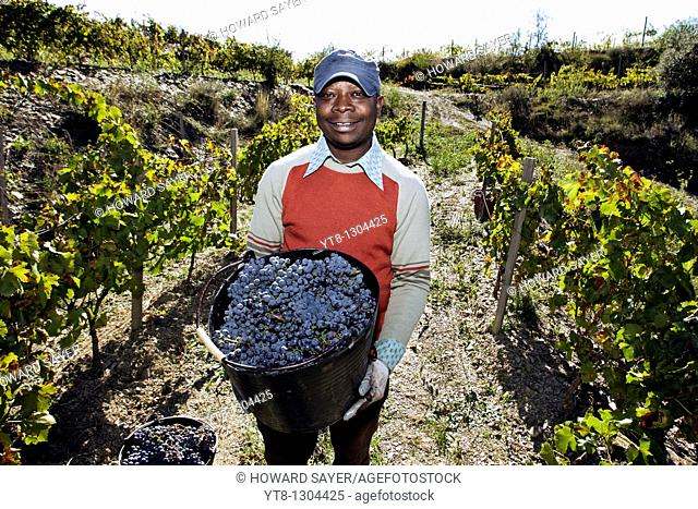 African man holding a bucket full of grapes that he has picked from a vineyard in the Priorat wine region of Catalonia, Spain