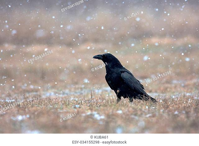 Raven (Corvus corax) in a snowstorm, sitting in a meadow and looks to the left. Poland, meadow near Narew river in winter