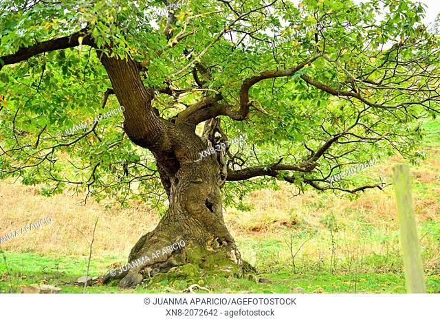 Big Chestnut tree