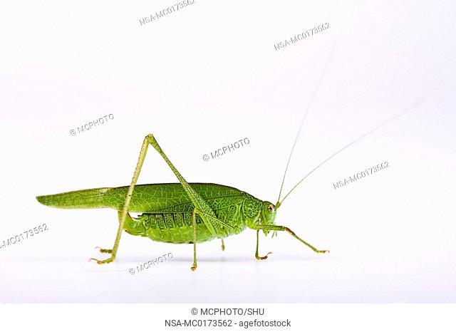 Sickle-Bearing Bush-Cricket Phaneroptera falcata