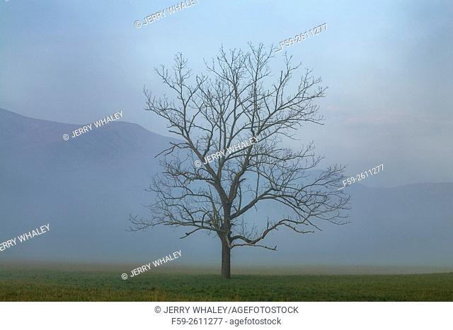 Lone tree in the spring landscape in Cades Cove, Tennessee, USA