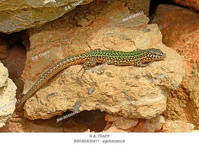 Ibiza wall lizard (Podarcis pityusensis, Lacerta pityusensis, Podarcis pityusensis pityusensis ), male sunbaths on a wall, Spain, Balearen, Ibiza