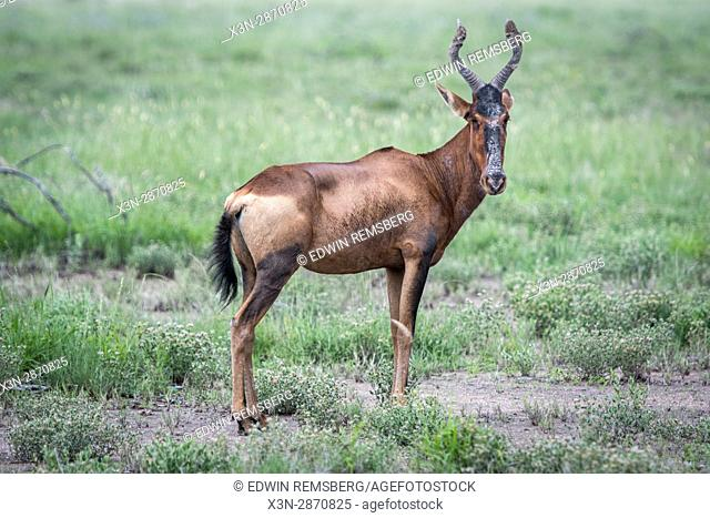 Red hartebeest in the grasslands of Etosha National Park in Namibia, Africa