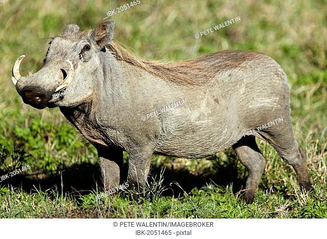 Warthog (Phacochoerus africanus), Ngorongoro Crater, Ngorongoro Conservation Area, Tanzania, Africa
