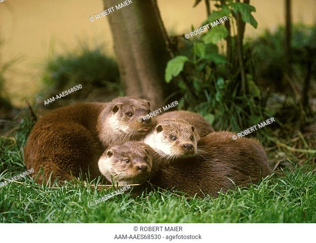 European Otter, fem. w/ 6 months old young (L. l. lutra), England