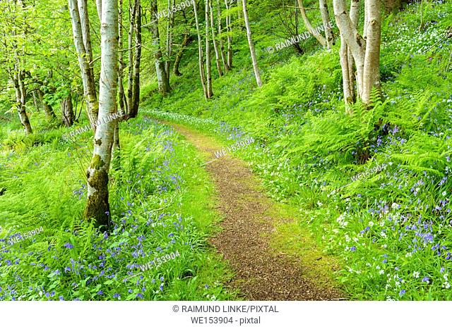 Away in spring forest with bear's garlic and bluebells, Armadale, Isle of Skye, Scotland, United Kingdom