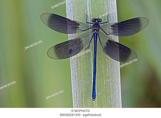 banded blackwings, banded agrion, banded demoiselle Calopteryx splendens, Agrion splendens, male sitting on a grass, Germany, North Rhine-Westphalia