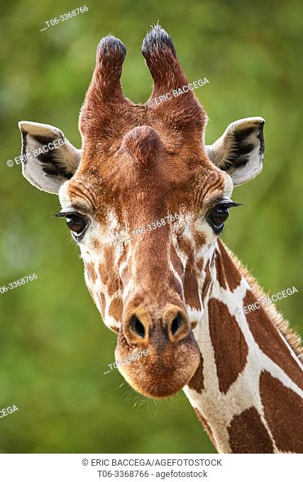 Reticulated giraffe {Giraffa camelopardalis reticulata} head. Captive, Beauval Zoo Parc, France