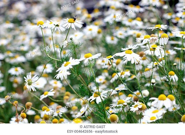 Kamillenblüten bei Mensch und Tier wegen ihrer Heilwirkung beliebt