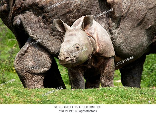 Indian Rhinoceros, rhinoceros unicornis, Mother with Male Calf