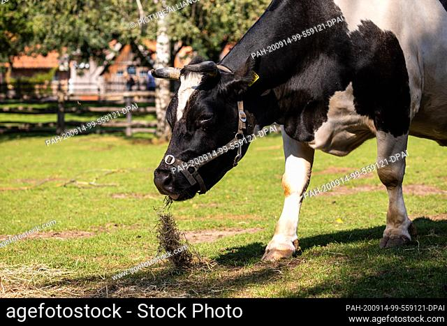 14 September 2020, Lower Saxony, Hanover: An Old German black and white lowland cattle is standing on a pasture in the Hannover Adventure Zoo