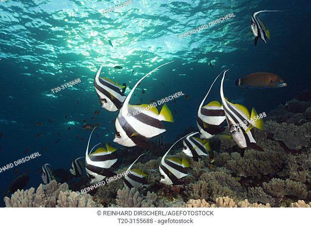 Shoal of Pennant Bannerfish, Heniochus diphreutes, Brother Islands, Red Sea, Egypt