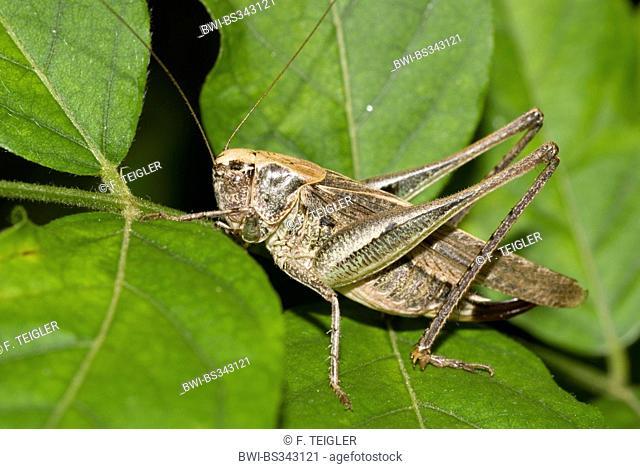 Western bushcricket, Grey Bush Cricket, Grey Bush-Cricket (Platycleis albopunctata, Platycleis denticulata), female on a leaf
