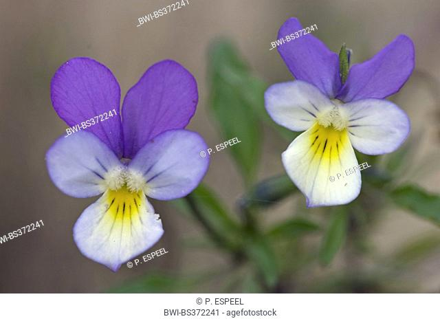 heart's ease, heartsease, wild pansy, three colored violet (Viola tricolor), two flowers, France