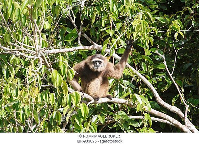 Agile Gibbon or Black-handed Gibbon (Hylobates agilis), primate, Samboja, East Kalimantan / Kalimantan Timur, Borneo, Indonesia
