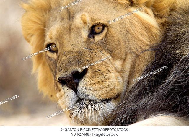 African lion (Panthera leo) - Male, Kgalagadi Transfrontier Park, Kalahari desert, South Africa