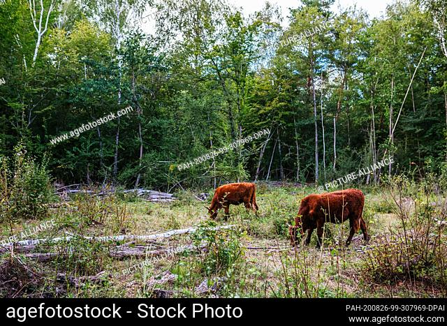 """19 August 2020, Baden-Wuerttemberg, Kappel-Grafenhausen: Two cattle are standing in the forest and grazing. On the so-called """"""""wild pastures"""""""" near..."""