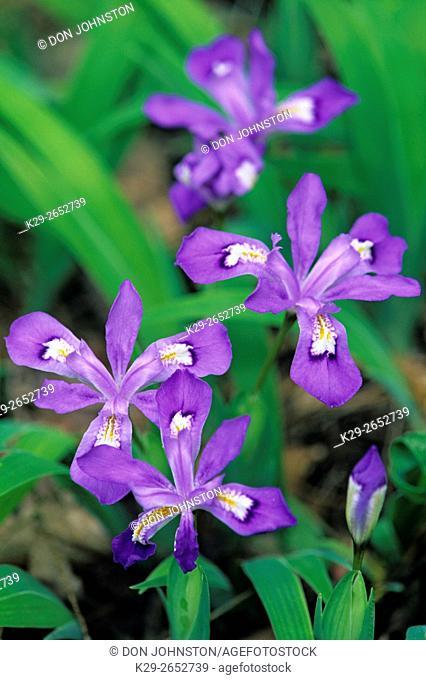 Crested dwarf iris (Iris cristata), Great Smoky Mountains NP, Tennessee, USA