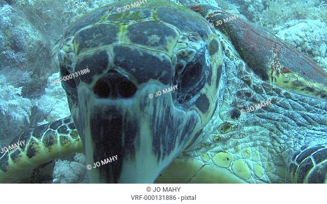 Hawksbill turtle Eretmochelys imbriocotabCU head on, Red sea, Egypt