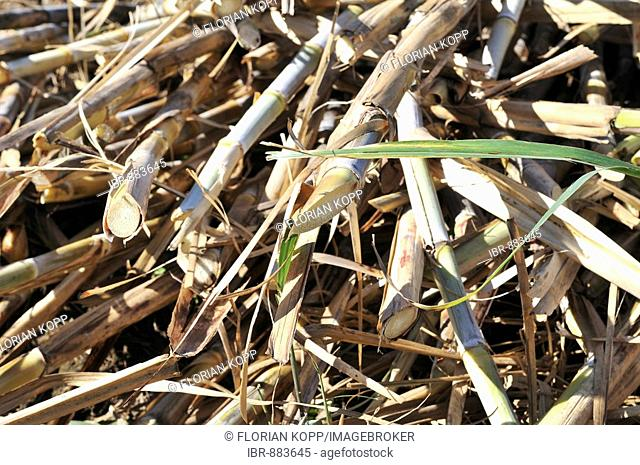 Freshly harvested sugar cane for the production of ethanol and biodiesel, Montero, Santa Cruz, Bolivia, South America
