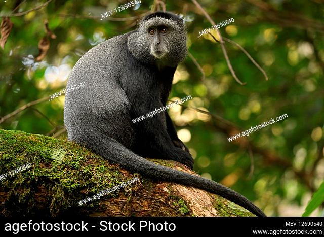 Stuhlmann's blue monkey, Cercopithecus mitis stuhlmanni, Kakamega forest, It is Kenya's only tropical rainforest and is said to be Kenya's last remnant of the...
