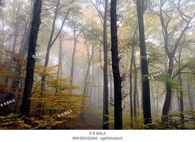common beech Fagus sylvatica, autumn forest in fog, Germany