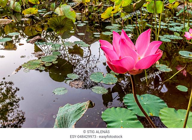 Blooming pink waterlily in a tropical pond. The green leaves are floating on the surface. Ubud, Bali, April 14, 2018