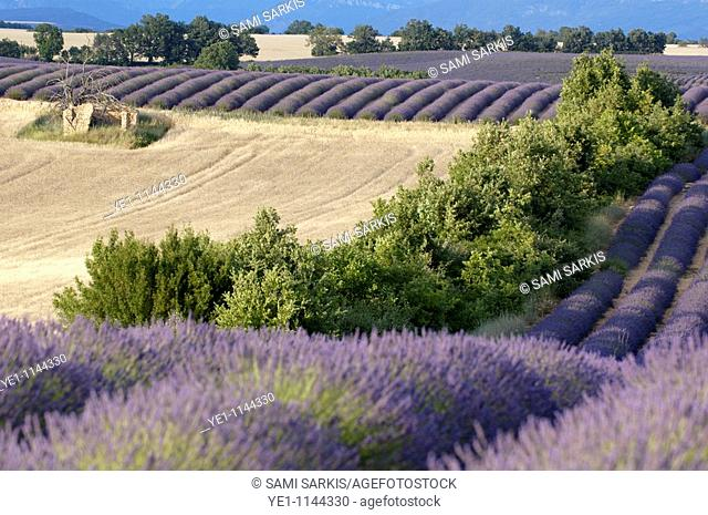Fields of lavender and harvested wheat in summer, Valensole, Provence, France