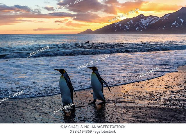 King penguins, Aptenodytes patagonicus, pair at sunrise, Gold Harbour, South Georgia, UK Overseas Protectorate