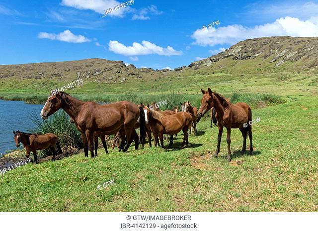 Horses in the Rano Raraku crater, Rapa Nui National Park, Easter Island, Chile