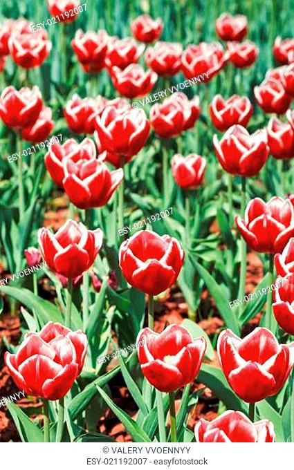 red decorative tulips on flower meadow