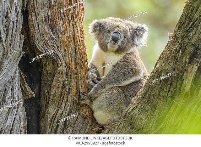 Koala, Phascolarctos cinereus, Sitting in Tree, Victoria, Australia
