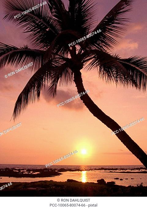 Hawaii, Palm tree silhouette with pink sky over ocean at sunset