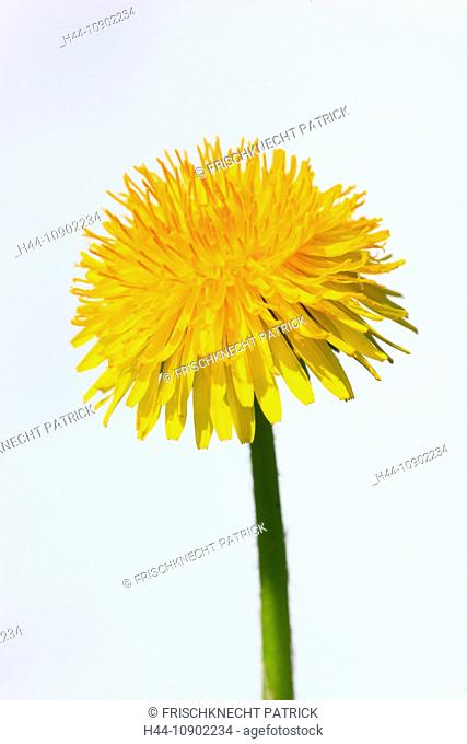 flower, flowers, blossom, flower, splendour, blossom, flourish, detail, spring, background, dandelion, dandelion, macro, close-up, nature, blowball, sunshine