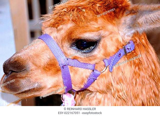 Lama (lama glama) aus Südamerika