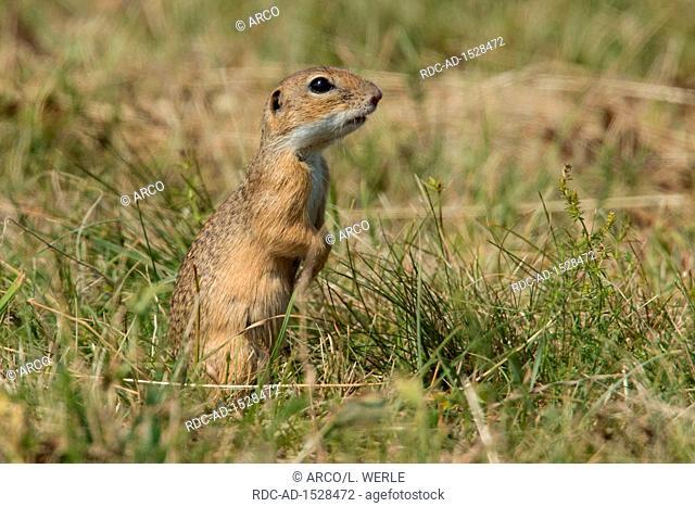 european ground squirrel, Citellus citellus