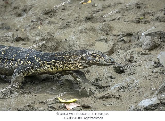 Monitor lizard, Sungai Apong, Kuching, Sarawak, Malaysia