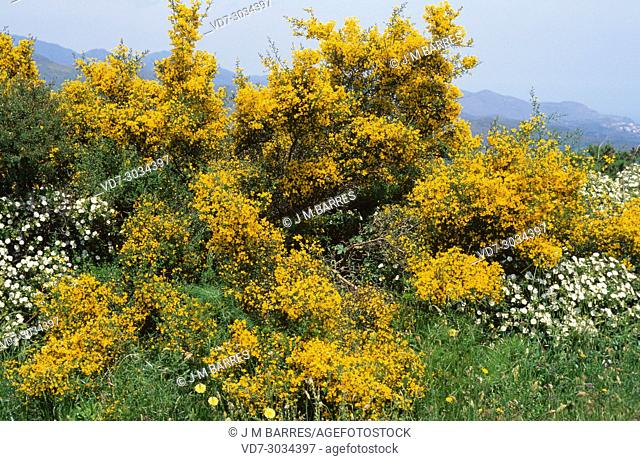 Spiny broom or thorny broom (Calicotome spinosa) is a densely branched spiny shrub native to Mediterranean Basin from Spain to Croatia