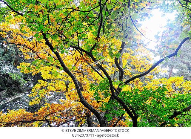 Autumn Canopy. Lincoln Park, Seattle, Washington, USA